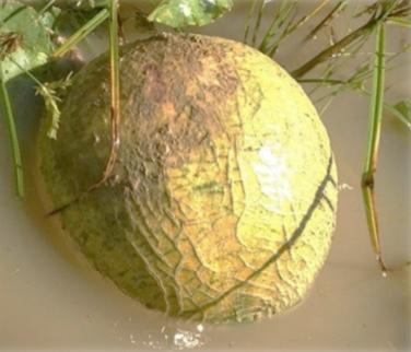 Flood Affected Melon