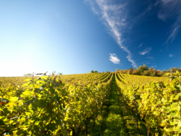 Shot of a vineyard row with clear skies.